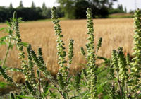 Амброзия обнаружена в крупной партии пшеницы