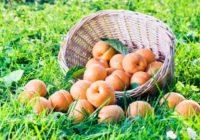 На Ставрополье подвели итоги уборки абрикосов и алычи