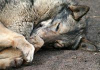Уголовная ответственность за жестокое обращение с животными, как домашними, так и дикими, предусмотрена статьей 245 Уголовного кодекса РФ