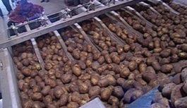 Будьте внимательны при приобретении картофеля