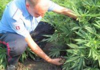 Ставропольчанин выращивал коноплю на дачном участке