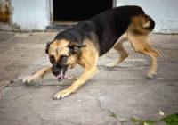Бешеные собаки вновь атакуют Кисловодск