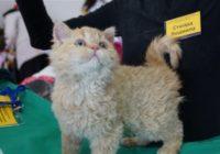 Лучших кошек выбирают в Кисловодске