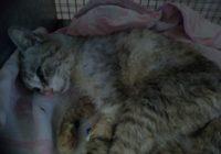 В Кисловодске двоих кошек жестоко расстреляли из пневматики