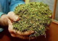 На Ставрополье изъят большой объем марихуаны