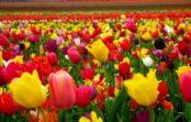 В Железноводске зацветут тюльпаны