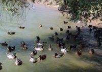 Ессентукские моржи организовали массовый заплыв