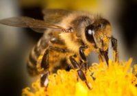 Пчелы на страже здоровья