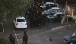 На улицах Кисловодска снова пронесся табун лошадей
