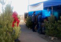 Незаконную торговлю елками выявили в Кисловодске
