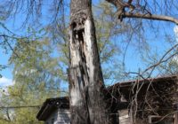 В Железноводске избавились от аварийных деревьев