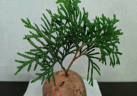 Одиннадцатиклассник освоил необычные способы выращивания туи